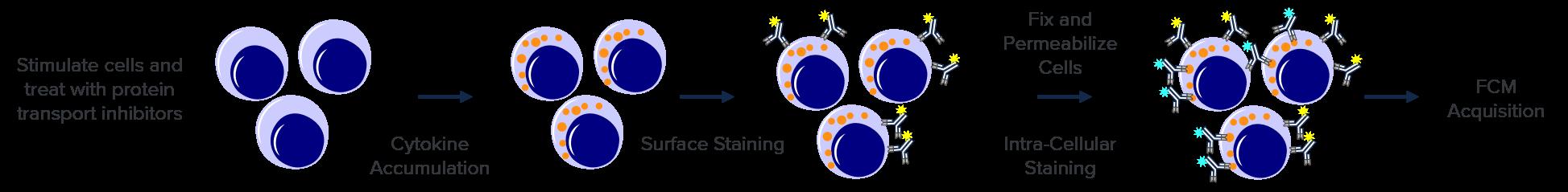 ICS-CELLS-EN
